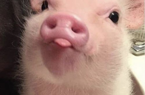 piglet sticking its tongue out
